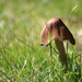 Little toadstool in the grass by mittens