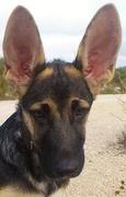 14th Oct 2016 - Roo's ears