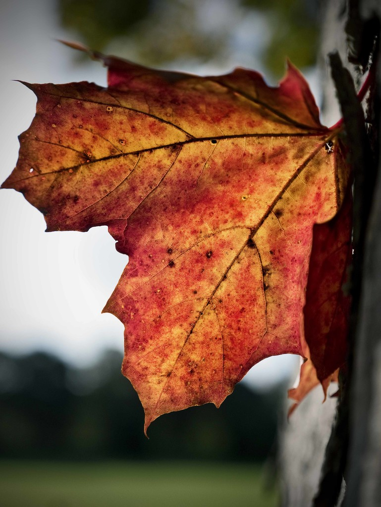 Autumn Sycamore. by gamelee