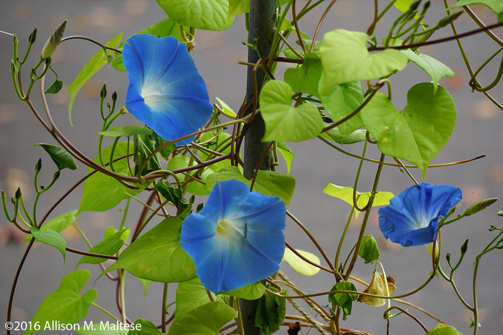 More Morning Glories by falcon11