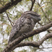 Tawny Frogmouth by ethelperry