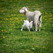 17th Oct 2016 - Week of Lambs