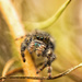 jumping spider by aecasey