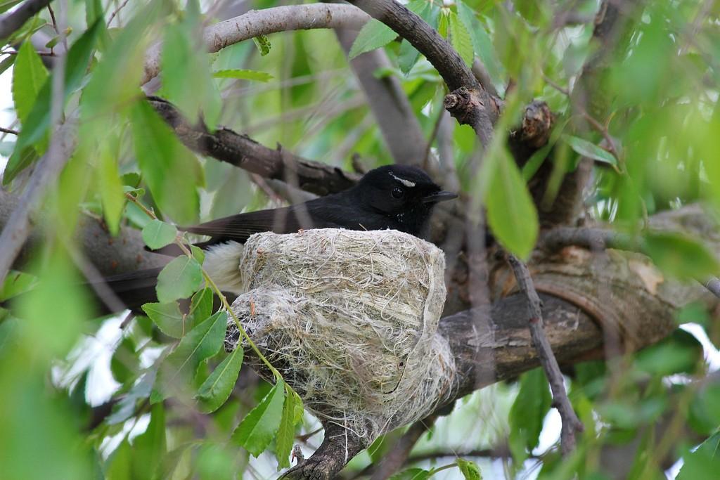 Willie Wag Tail nest by leggzy