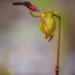 Flying Duck Orchid by jodies