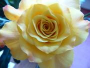 13th Oct 2016 - Yellow rose