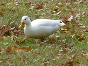 15th Oct 2016 - Litle White Duck