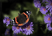 14th Oct 2016 - Red Admiral