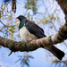 Wood pigeon in the Kowhai