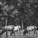Three Elk Cows Grazing