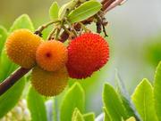 18th Oct 2016 - Arbutus Unedo (Strawberry Tree)