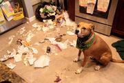 25th Feb 2016 - Trash Pup