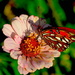 Gulf fritillary and zinnia by congaree