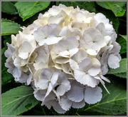 18th Oct 2016 - White Hydrangea
