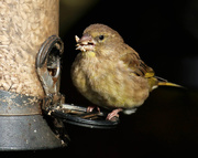 19th Oct 2016 - Greedy Greenfinch