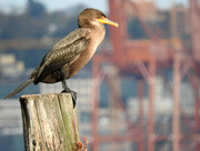 19th Oct 2016 - Cormorant