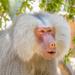 Hamadryas baboon by gosia