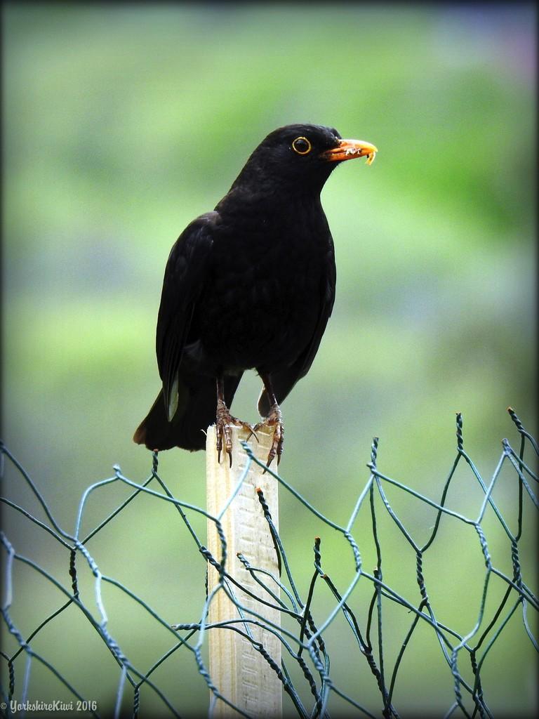 Blackbird on the Wire by yorkshirekiwi