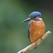 Male Kingfisher by padlock