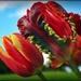 Spring Tulips by yorkshirekiwi