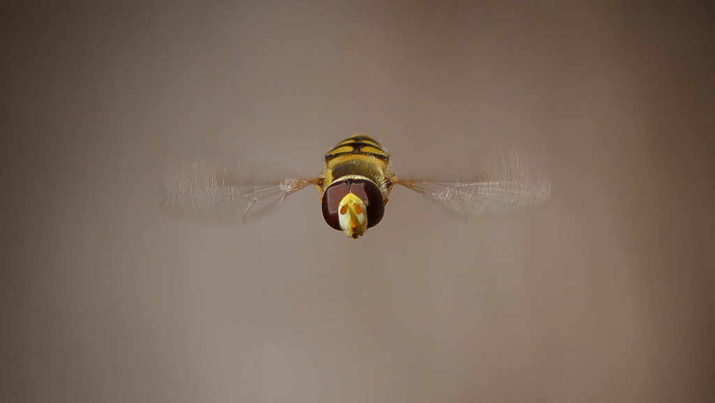 Hover fly head-on  by jodies