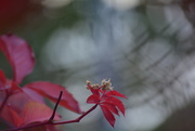 21st Oct 2016 - Red leaves