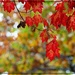 The Red Leaves of Autumn by olivetreeann