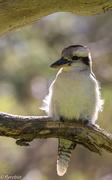 20th Oct 2016 - Young kookaburra