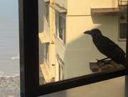 22nd Oct 2016 - A Raven at my window