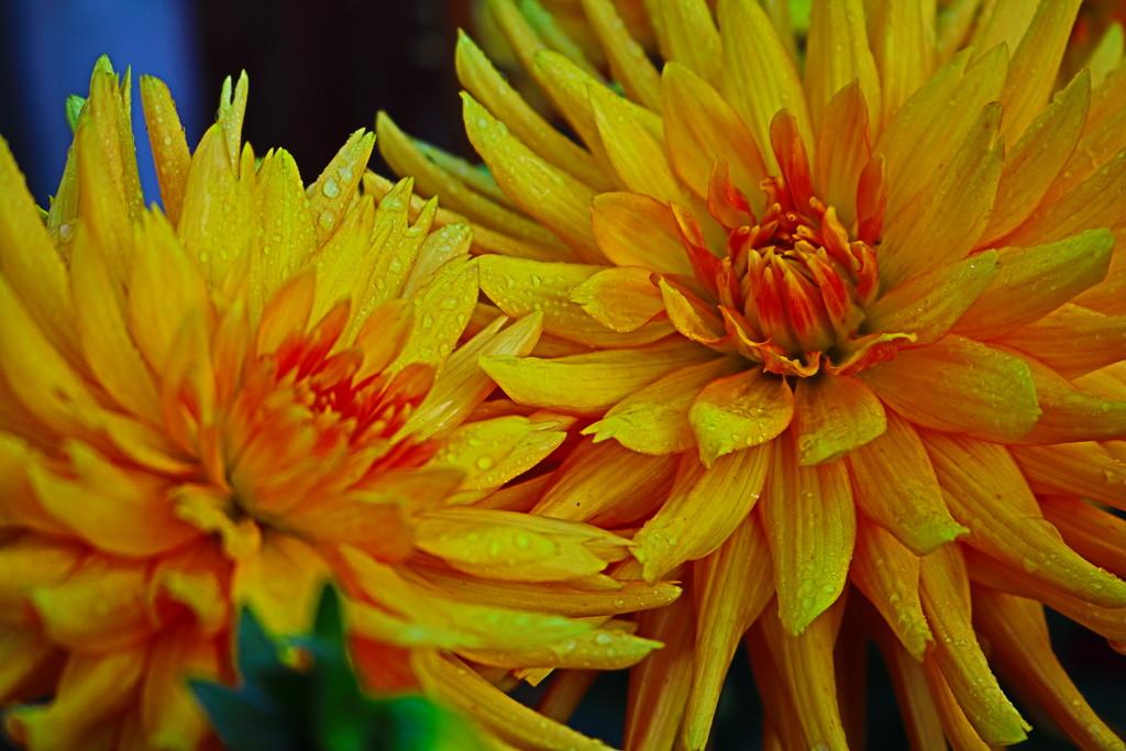 Burning Dahlias by phil_sandford