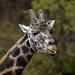 Giraffe Having Something to Say  by jgpittenger