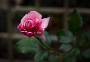 22nd Oct 2016 - October Rose