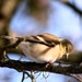 Our little goldfinch