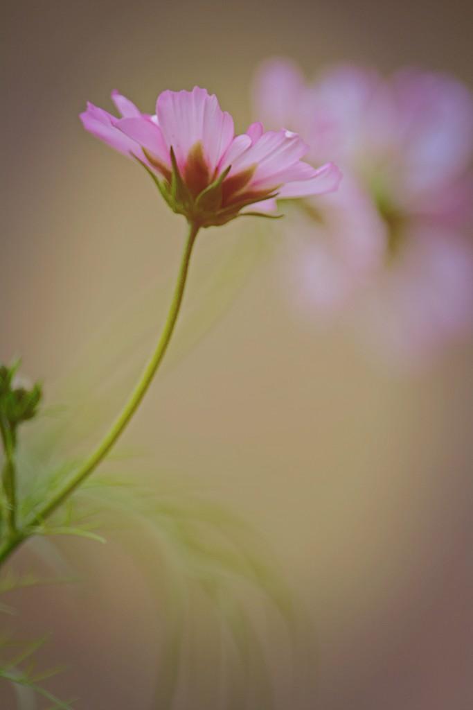 Three dreamy pink flowers in a row by ziggy77