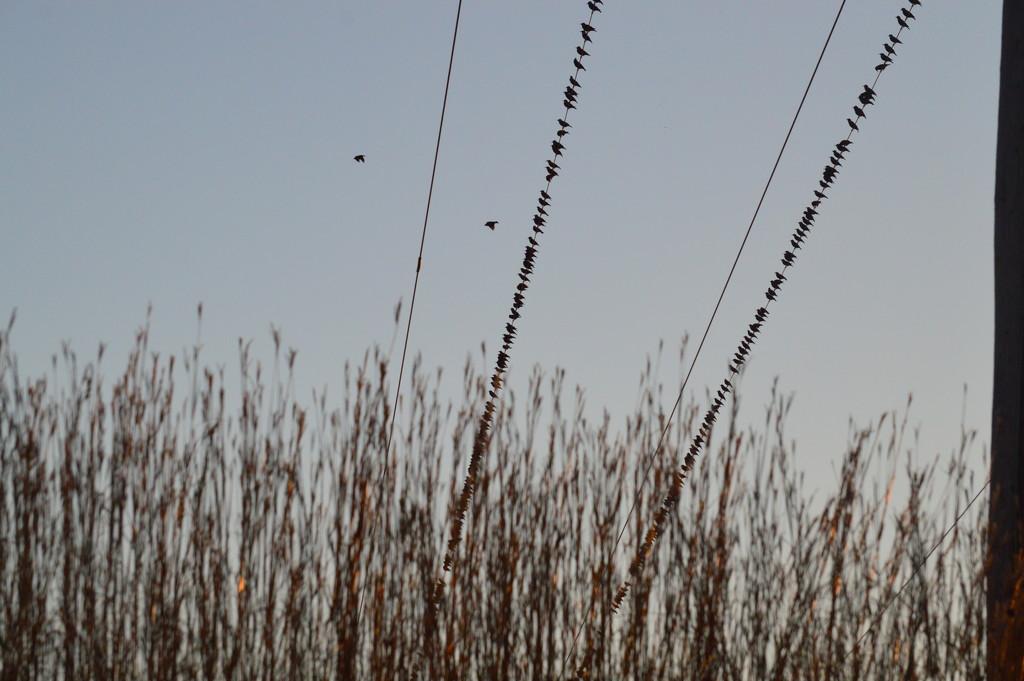 Birds on Vertical Wires by kareenking