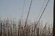 22nd Oct 2016 - Birds on Vertical Wires
