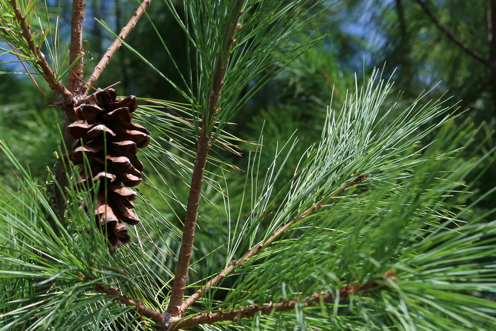 Pine cone by mittens