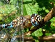23rd Oct 2016 - Common hawker Dragonfly - Aeshna juncea