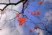 23rd Oct 2016 - Red maples leaves!