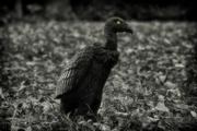 23rd Oct 2016 - vulture