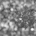 (Day 251) - Silver Snowflake by cjphoto