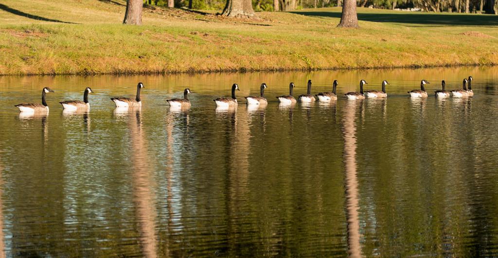 Goose Parade! by rickster549