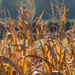 Backlit Corn by dorsethelen