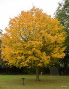 24th Oct 2016 - Yellow Tree