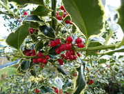 22nd Oct 2016 - Holly Berries