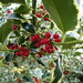 Holly Berries by cmp