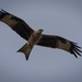 2016 10 24 - Red Kite by pixiemac
