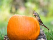 24th Oct 2016 - Pumpkin dinner or inquisitive