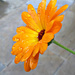 Marigold. by wendyfrost