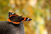 25th Oct 2016 - Autumn butterfly